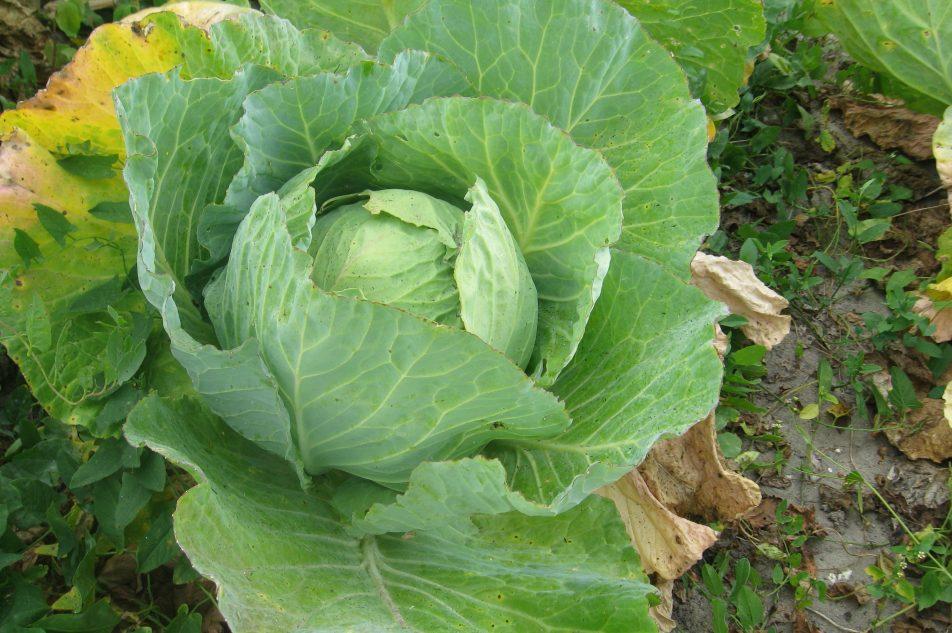Kapusta warzywna (odmiana głowiasta)