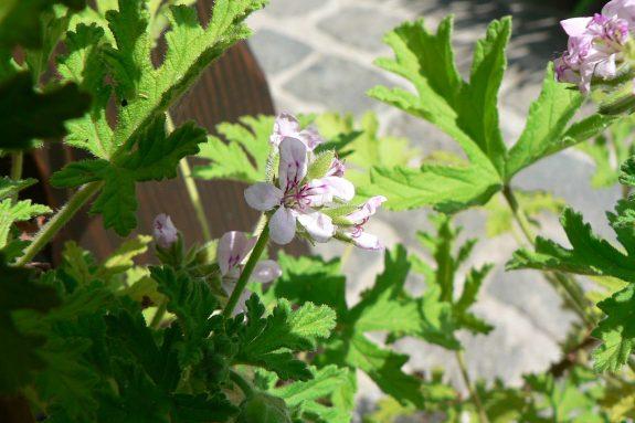 Pelargonia wonna