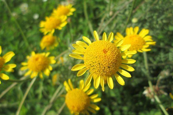 Rumian żółty