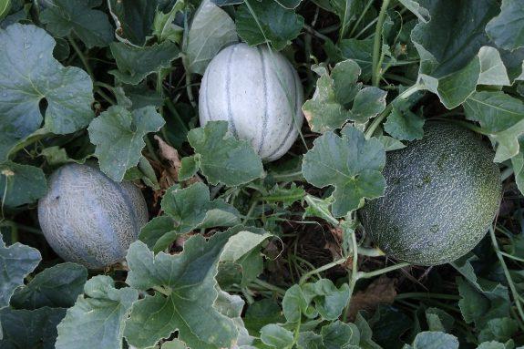 Ogórek melon