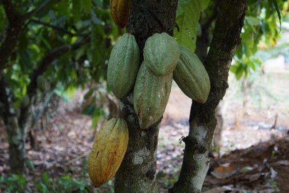 Kakaowiec właściwy