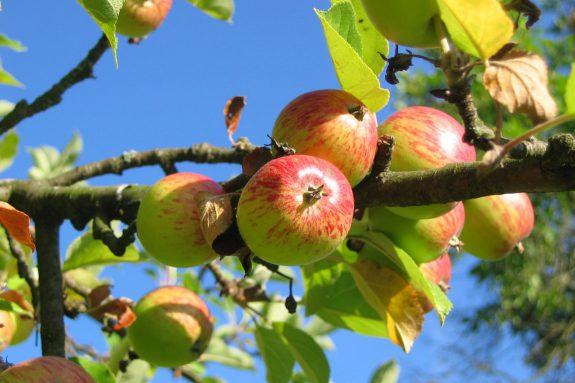 Jabłoń domowa