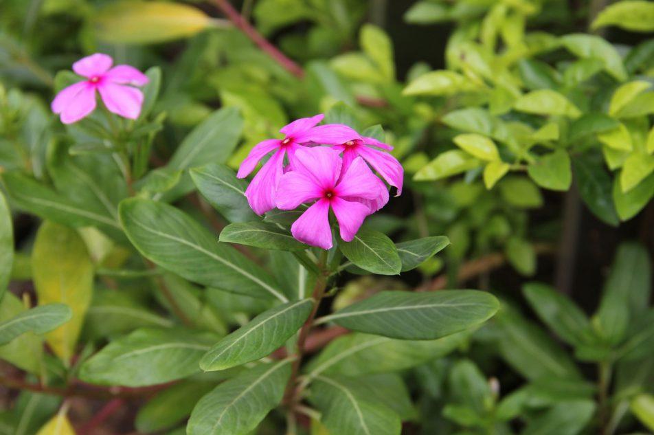 Barwinek różyczkowy