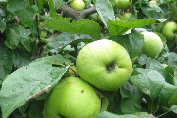 Jabłoń dzika