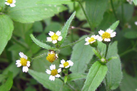 Żółtlica drobnokwiatowa
